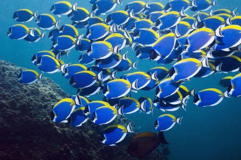Blue, Organism, Natural environment, Majorelle blue, Electric blue, Cobalt blue, Azure, Fish, Underwater, Coral reef fish,