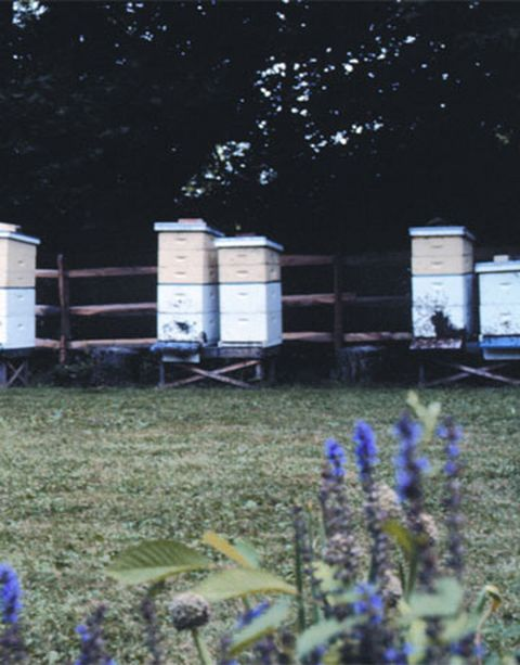 Lavender, Land lot, Garden, Majorelle blue, Groundcover, Home fencing, Yard, Lavender, Herbaceous plant, Annual plant,