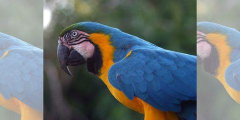 Parrot, Blue, Yellow, Bird, Macaw, Vertebrate, Colorfulness, Beak, Orange, Adaptation,