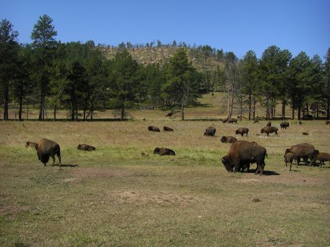 "<strong>Perfect for:</strong> Those dreaming of the Wild West.  <strong>Main attractions:</strong> Every September, thousands of buffalo that still run free in <a target=""_blank"" href=""http://gfp.sd.gov/state-parks/directory/custer/"">Custer State Park</a> are rounded up in a glorious display of old cowboy life. Afterwards, you can pick up a few fur pelts and dig into some home-cooked BBQ in town.  <!--EndFragment-->"
