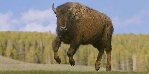 Vertebrate, Mammal, Bovine, Bison, Wildlife, Terrestrial animal, Grassland, Natural landscape, Pasture, Horn,