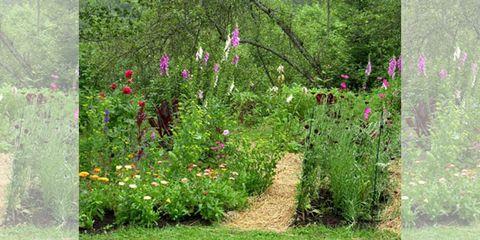Plant, Shrub, Flower, Plant community, Garden, Petal, Flowering plant, Groundcover, Magenta, Wildflower,