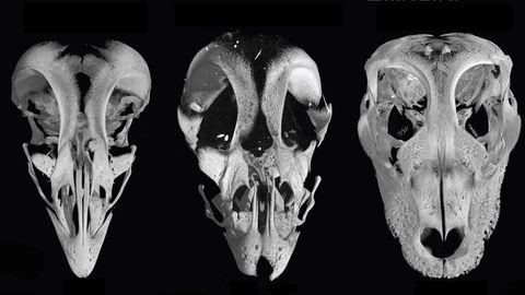 In the middle is the altered chicken embryo skull, with a normal chicken skull and an alligator skull flanking it for comparison