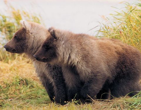 Homer: Take a floatplane with Bald Mountain Air Service to see grizzlies in their natural habitat.