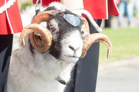 Snout, Terrestrial animal, Working animal, Argali, Fur, Horn, Dall's sheep, Goat-antelope, Livestock, Goats,
