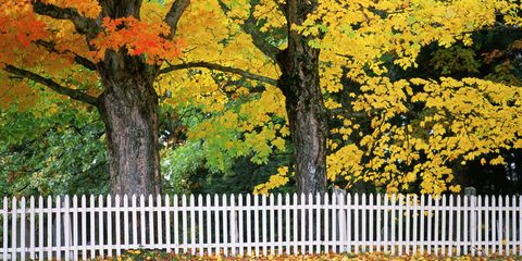 Branch, Deciduous, Yellow, Picket fence, Leaf, Home fencing, Woody plant, Twig, Autumn, Trunk,