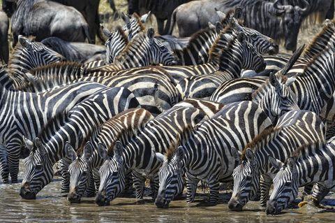 Terrestrial animal, Zebra, Wildlife, Herd, Safari,