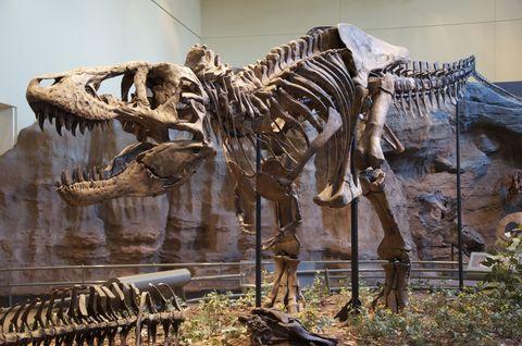 Skeleton, Dinosaur, Extinction, Tyrannosaurus, Fossil, Terrestrial animal, Museum, Wildlife, Velociraptor, Tourist attraction,