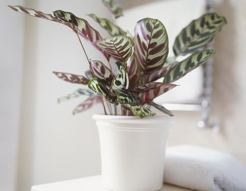 <p>Its patterned leaves (in colors like rose, white, and yellow) makes this plant a welcome addition to any room—and too much direct light might actually fade its markings.</p>