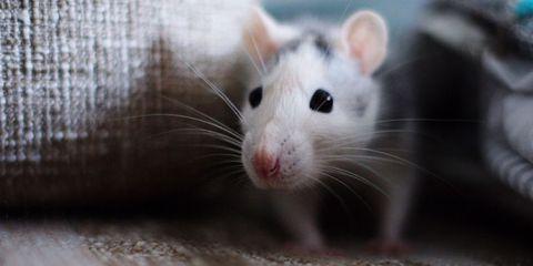 Skin, Whiskers, Organism, Pest, Vertebrate, Iris, Snout, Rodent, Organ, Rat,
