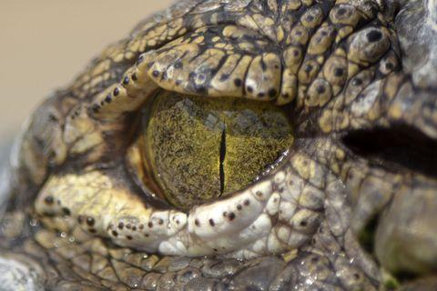 Organism, Vertebrate, Skin, Reptile, Adaptation, Iris, Snout, Organ, Terrestrial animal, Macro photography,