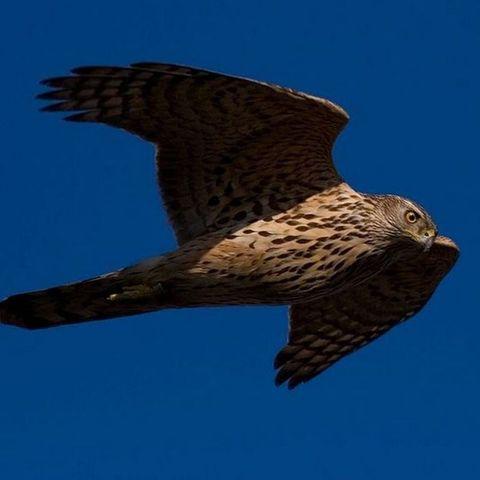 Bird, Beak, Bird of prey, Organism, Accipitridae, Hawk, Vertebrate, Accipitriformes, Wing, Harrier,