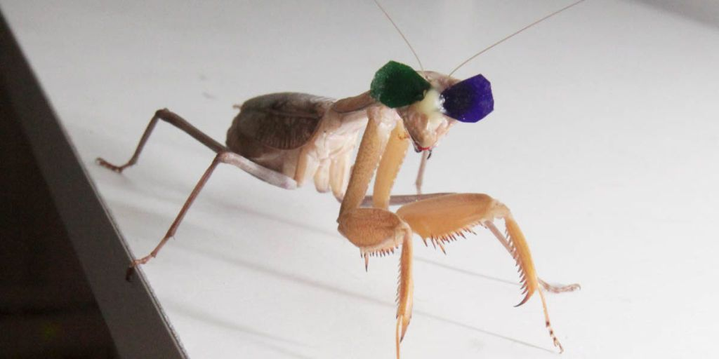 Tiny 3D Glasses Prove Too-Hip Praying Mantises Have 3D Vision
