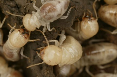Invertebrate, Organism, Arthropod, Pest, Insect, Fawn, Beige, Crustacean, Decapoda, Parasite,