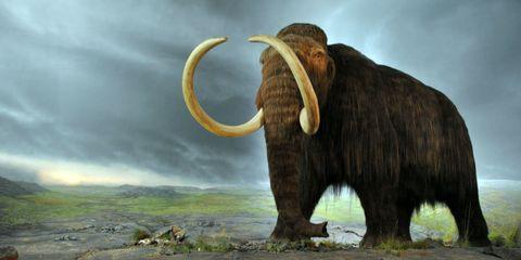 Elephant, Elephants and Mammoths, Organism, Natural landscape, Terrestrial animal, Mammoth, Adaptation, Ecoregion, Tusk, World,