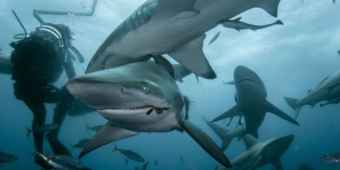 Organism, Underwater, Vertebrate, Shark, Requiem shark, Lamnidae, Lamniformes, Cartilaginous fish, Fin, Fluid,