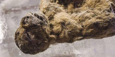 South Korean Scientist Working to Clone an Extinct Cave Lion