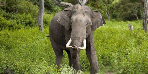 Elephant, Elephants and Mammoths, Vegetation, Plant, Natural landscape, Plant community, Working animal, Terrestrial animal, Nature reserve, Adaptation,