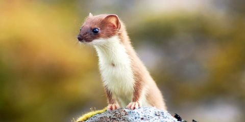 Skin, Organism, Mustelinae, Facial expression, Weasel, Adaptation, Iris, Mustelidae, Rodent, Fawn,