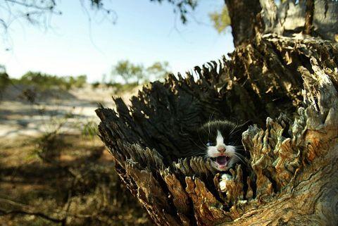 australia_feral_kitten