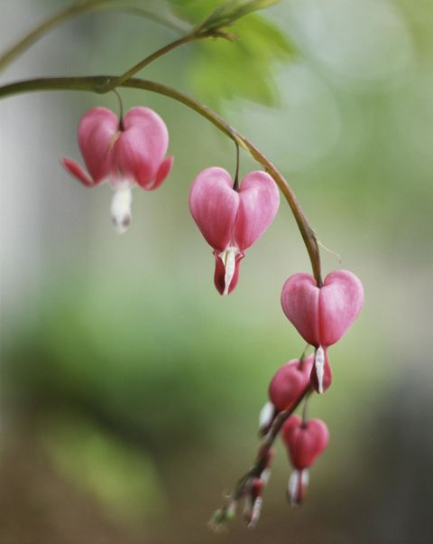 "<p>Even though these plants are known for their beauty, they're also <a href=""http://landscaping.about.com/od/perennialflowers/p/bleeding_hearts.htm"" target=""_blank"">poisonous</a>. Smart deer know to steer clear from them unless they want to suffer from some serious repercussions. </p>"