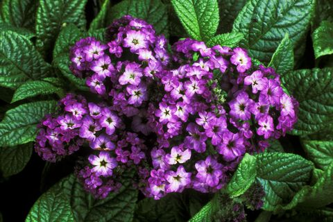 "<p>When it comes to these pretty <a href=""http://definingyourhome.blogspot.com/2008/04/favorite-deer-drought-tolerant.html"" target=""_blank"">purple plants</a>, deer don't like their heavily perfumed scent or the sandpaper-like texture of their leaves (and we don't blame them).</p>"