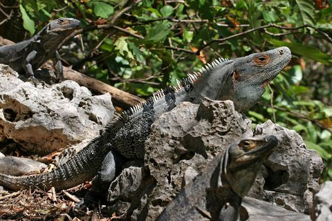 "<p>Florida is a state full of weird animals, and the black spiny tailed iguana—an invasive from Central America—is one of the weirder, and more destructive ones. In fact, the problem is so prevalent that, as detailed in the book <a href=""https://www.amazon.com/Eating-Aliens-Adventures-Hunting-Invasive/dp/161212027X"">Eating Aliens</a>, some people have gone on the hunt to eliminate them before they disrupt too much of the area they live in. </p><p>If the title <em>Eating Aliens </em>doesn't also give it away, they're edible. There's a risk of salmonella if not cooked properly, but they are said to taste a bit like chicken. Go figure. National Geographic put together a <a href=""https://www.youtube.com/watch?v=h0886du3XmM"">little video</a> on eating iguanas, if you want to see one in action. </p>"