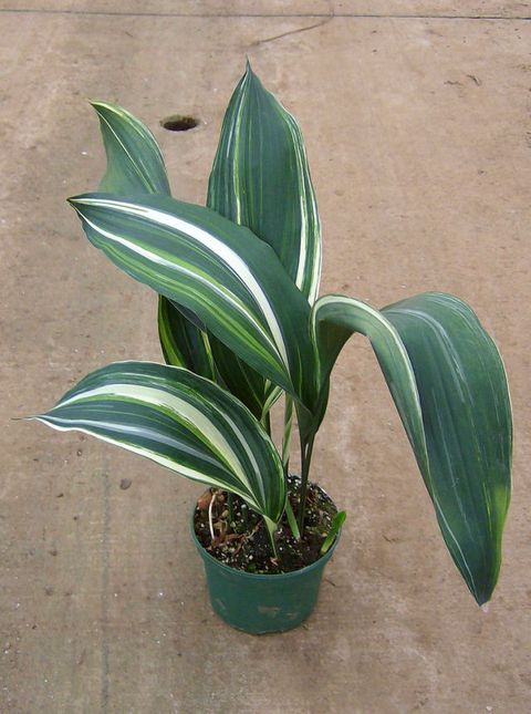 "<p>This plant has many names. Its botanical name is Aspidistra, but it's also called the saloon and barroom plant because of where it used to grow. If it can grow in a bar, it will probably do well in your home. In southern states, this plant with leathery leaves is used as ground cover. The rest of us can enjoy it as an indoor plant. It is a relatively slow grower, but ""when it fills out, you can divide it so the plant multiplies,"" Myers says. ""When it's in a pot, it's easy to contain."" This is one species that makes it easy to grow an attractive plant. ""It tolerates low light and go can dry between waterings. It's low water, low maintenance,"" she says. ""The blue-greens, speckled, striped with creams and purples, and the hearty leaves give it a lot of texture."" </p>"