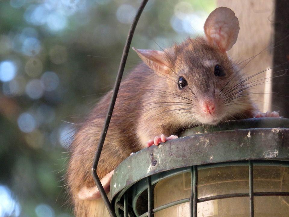 amphetamine helped brain damaged rats regain function