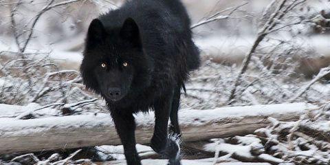 Winter, Carnivore, Freezing, Snow, Dog breed, Dog, Snout, Twig, Wildlife, Canidae,