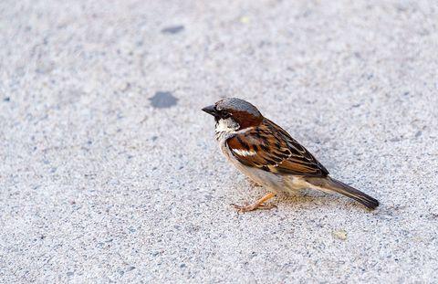Bird, Sparrow, House sparrow, Ecoregion, Grey, Beak, Songbird, Emberizidae, Perching bird, Feather,