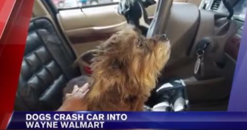 dog drives into wal-mart