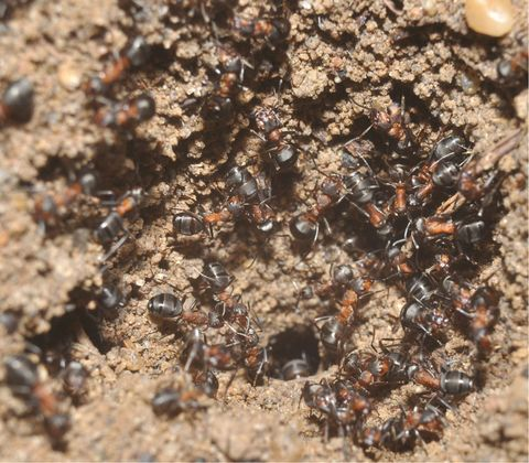 Brown, Invertebrate, Arthropod, Pest, Insect, Ant, Amber, Membrane-winged insect, Pollinator, Bronze,