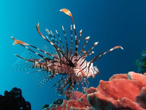 Organism, Underwater, Natural environment, lionfish, Marine invertebrates, Marine biology, Coral, Scorpionfish, Stony coral, Reef,