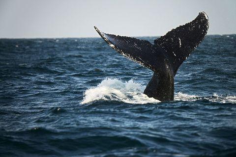 whale-humpback