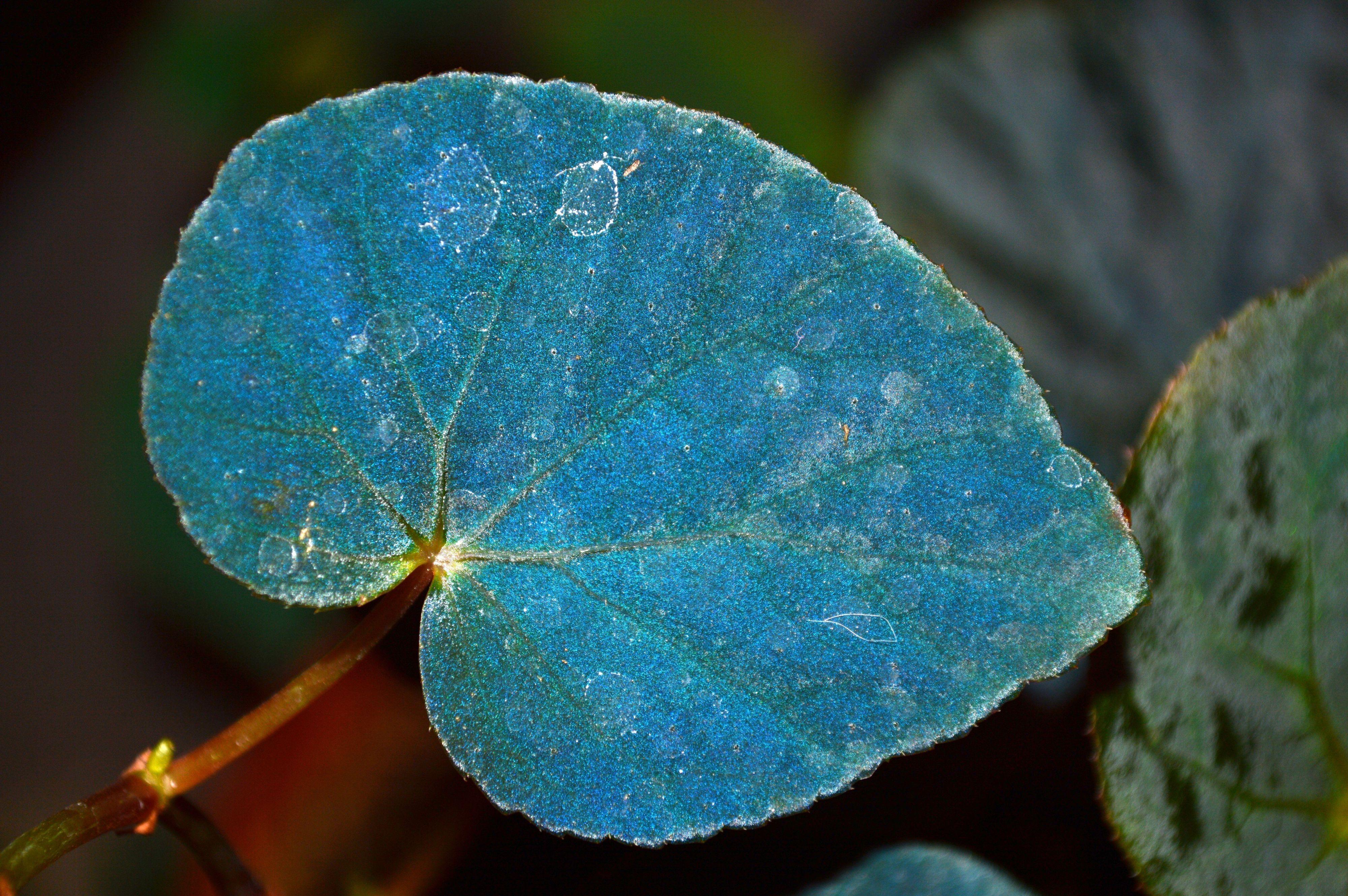 Behind This Plant's Blue Leaves Lies a Weird Trick of Quantum Mechanics
