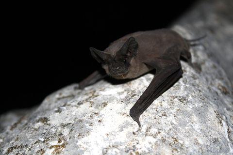 Bat, Terrestrial animal, Close-up, big brown bat, Macro photography, common pipistrelle, pipistrelles, Claw, Little Brown Myotis, Mouse eared bat,