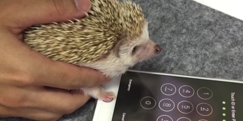 You Can Use a Hedgehog to Unlock Your iPhone