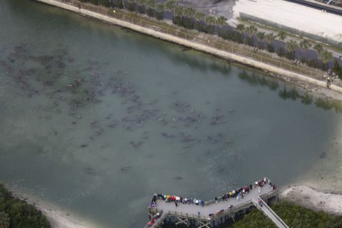 Florida Manatees At Apollo Beach And Tampa Electric From 2017 Aerial Survey