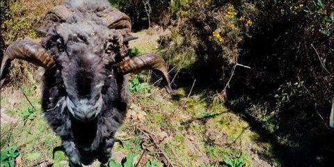 Organism, Plant community, Nature reserve, Terrestrial animal, Bovine, Working animal, Snout, Horn, Fur, Wilderness,