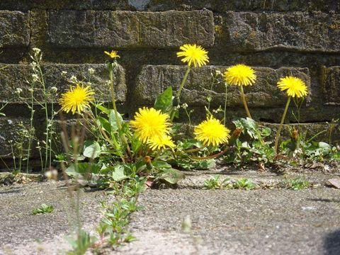 Yellow, Plant, Flower, Petal, Flowering plant, Groundcover, Dandelion, dandelion, Wildflower, Herbaceous plant,