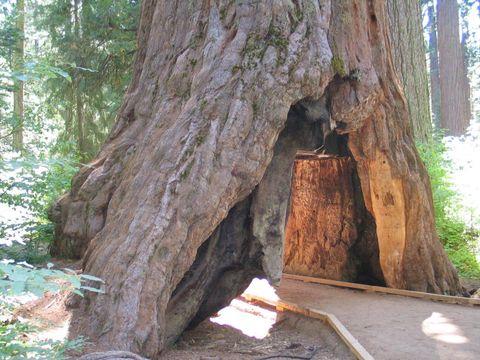 Calaveras Tunnel Tree rip
