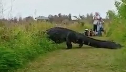 Oh, Just a Massive Alligator Casually Taking a Stroll in the Park