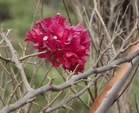 "<p> A fast-growing shrubby vine that can grow 40 feet long, Bougainvillea uses its thorny stems to support itself on nearby plants or structures. The colorful display is actually large, papery bracts that surround the tiny flowers, and you definitely don't want this plant's sap to touch your skin.<span class=""redactor-invisible-space"" data-verified=""redactor"" data-redactor-tag=""span"" data-redactor-class=""redactor-invisible-space""></span></p>"
