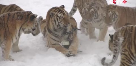 siberian tigers drones