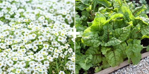 """<p>Alyssum is an annual that's easy to grow from seed in&nbsp;between rows of vegetables. """"It's a big attractor of hover flies, which are&nbsp;beneficial insects that control aphids,"""" says Stross. Plant pretty Swiss chard&nbsp;as a border, interspersed with these delicate low-growing flowers.<br></p>"""
