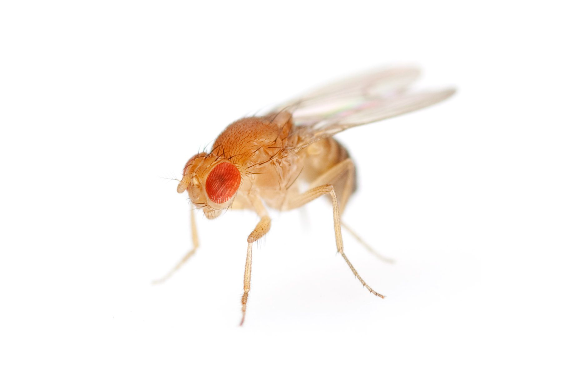 how to get rid of fruit flies building a fruit fly trap
