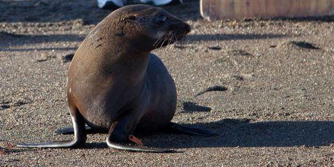 Vertebrate, Seal, Fur seal, California sea lion, Terrestrial animal, Marine mammal, Adaptation, Organism, Wildlife, Whiskers,