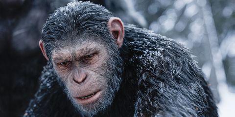 Common chimpanzee, Primate, Snout, Macaque, Human, Terrestrial animal, Organism, Wildlife, Fur,