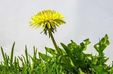Green, Flower, Leaf, Petal, dandelion, Flowering plant, Botany, Dandelion, Crepis paludosa, Herbaceous plant,